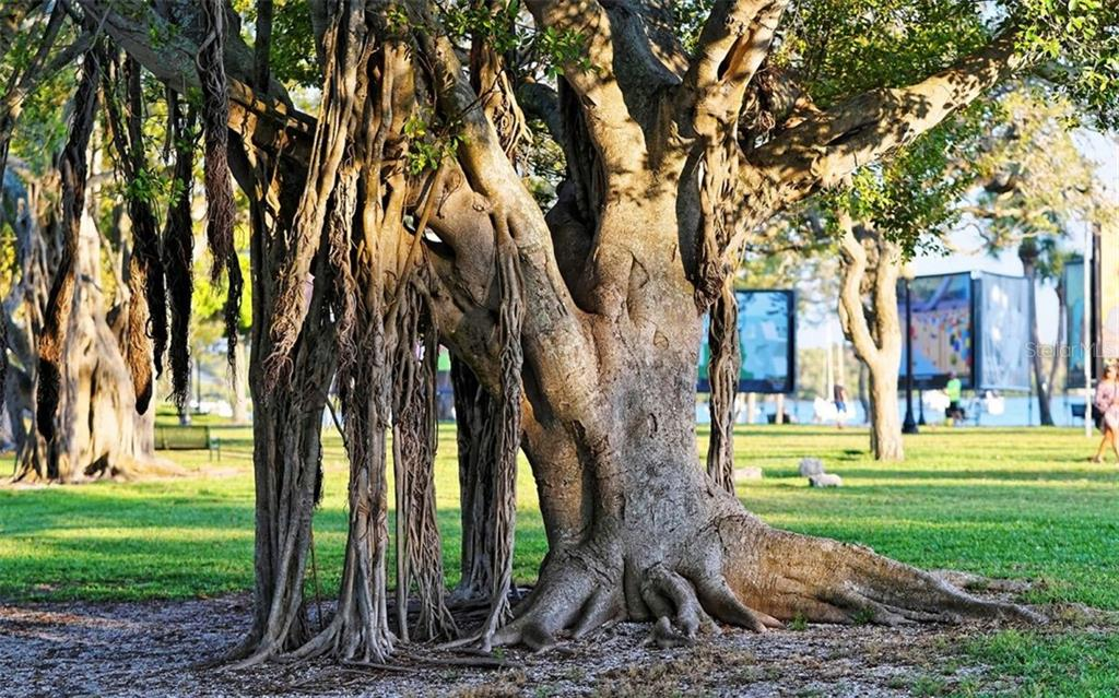 Banyon tree in Bayfront Park - a wonderful place to walk - Condo for sale at 1155 N Gulfstream Ave #1701, Sarasota, FL 34236 - MLS Number is A4480090